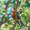 A Robin in a Tree 6/7/16