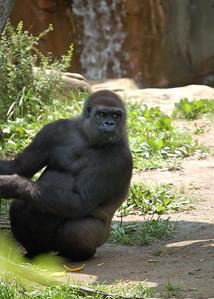 Gorilla, Cincy Zoo
