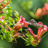 Ruby-Throated Hummingbird 7/26/17