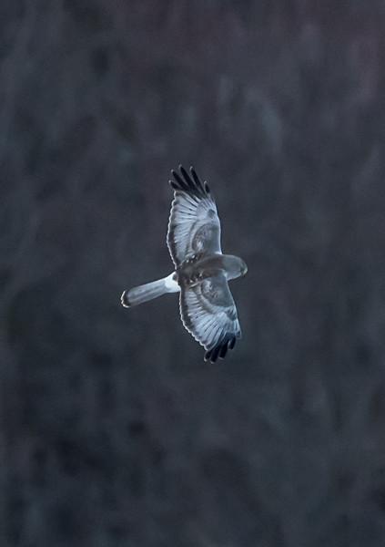 Gray Ghost Northern Harrier in Flight 1/6/17