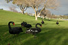 Black Swans, Taupo, New Zealand