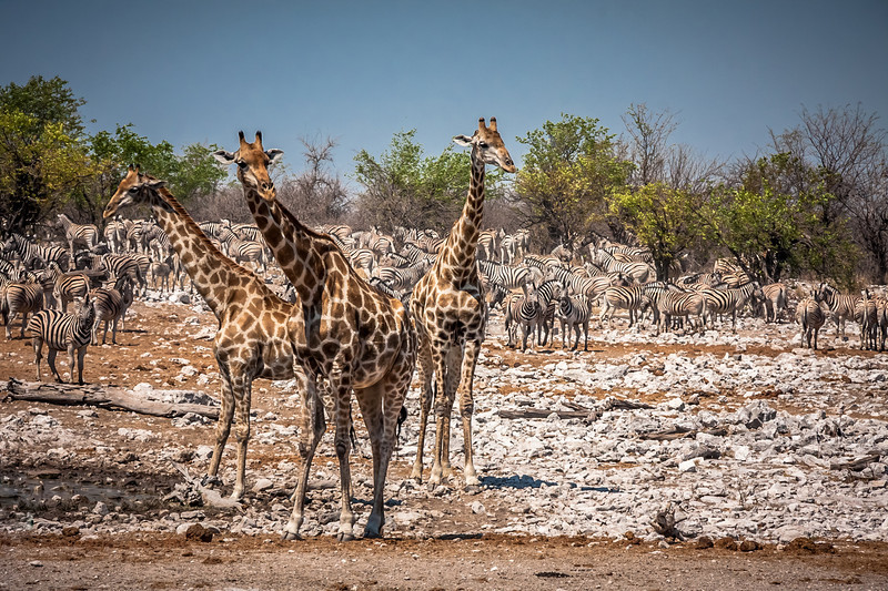 Zebra herd and giraffes at Kalkheuwel waterhole, Etosha National Park, Namibia, Africa.