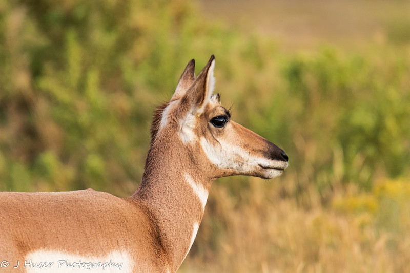 Sideview of female Pronghorn Antelope