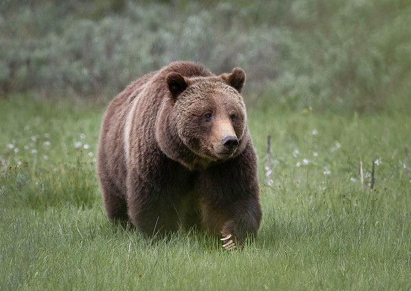 Grizzly 399 | Grand Teton NP | Wyoming