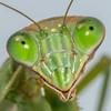 Close Up of Praying Mantis 10/19/16