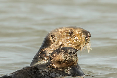 Otter mother and babe, Moss Landing