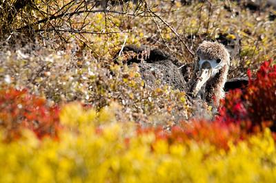 Juvenile waved albatross - Isla Española