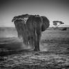 Elephants in a line, Amboseli National Park, Kenya, East Africa