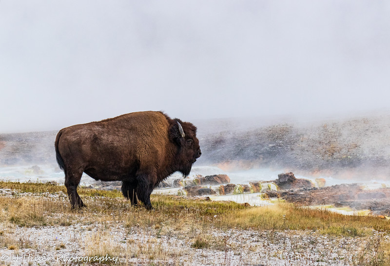 Buffalo standing by steaming river in Yellowstone NP