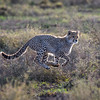 Backlit cheetah cub running in Ndutu Conservation Area, Tanzania, East Africa
