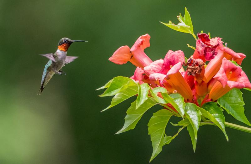 Ruby-Throated Hummingbird 7/10/17