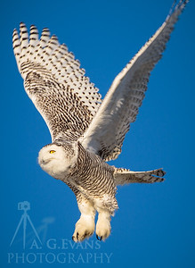 Snowy Owl in Flight 3