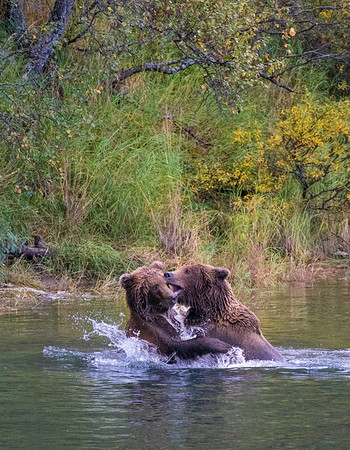 Katmai National Park   Brooks River   Alaska