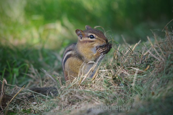 Chipmunk Munch