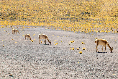 Smaller than llamas, vicuñas are a common wildlife sighting in San Pedro de Atacama.