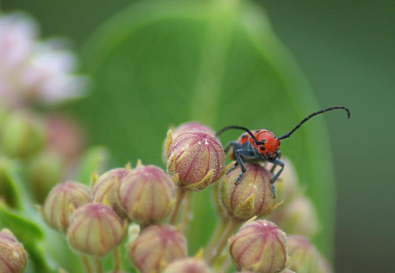 Milkweed Bug, IN