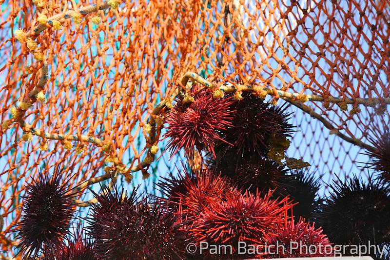 Sea Urchin Catch