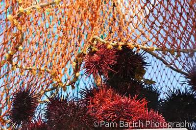 Sea Urchin Catch