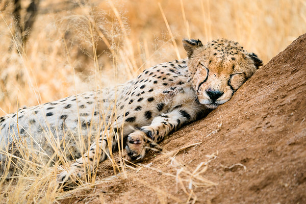 A cheetah snoozing on a termite mound in Namibia.