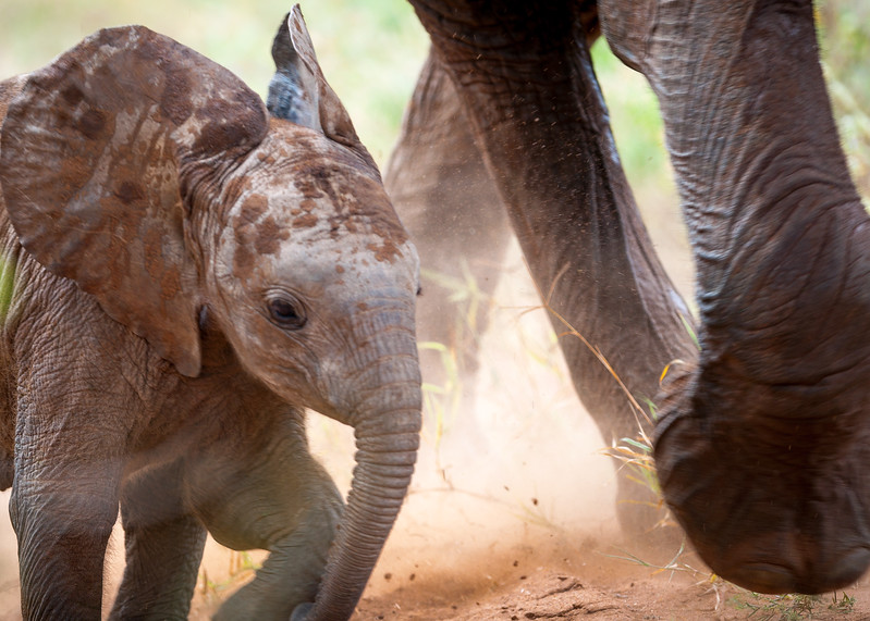 Dangers for a young elephant