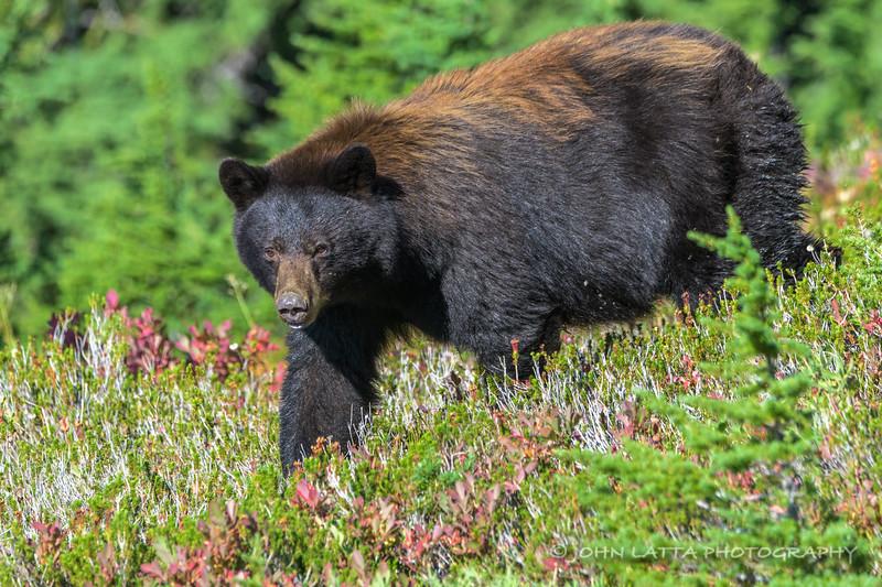 Black Bear Female
