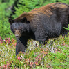 Black Bear Female