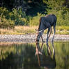 Moose kneeling to take a drink of water at Fishcap Lake along the Iceberg Lake Trail, Many Glacier, Glacier National Park, Montana