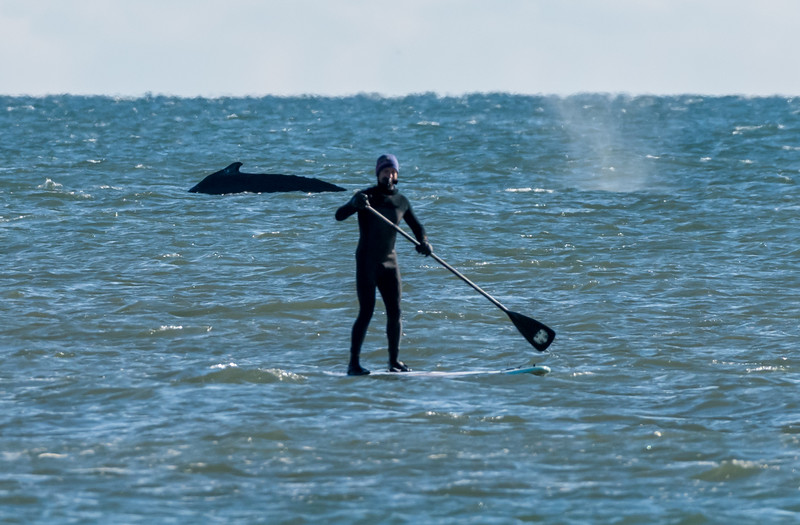 Paddleboarder with Humpback Whale 11/26/17