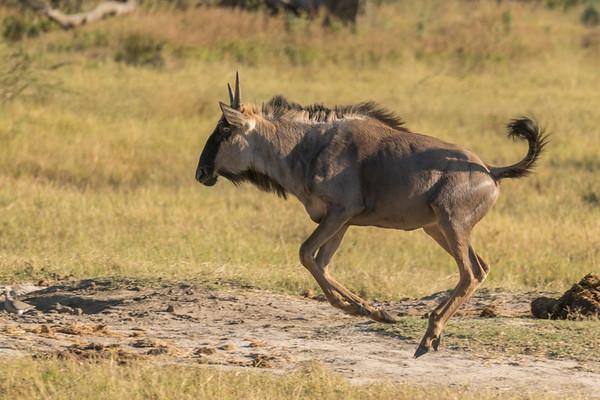 Spronking wildebeest