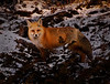 A well fed red fox (Vulpes vulpes) hunting in Rocky Mountain National Park.