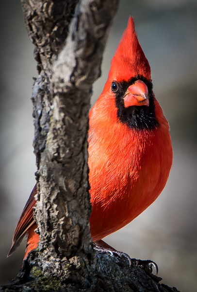 A male Cardinal impressing the Lady Cardinals with his beautiful crest.