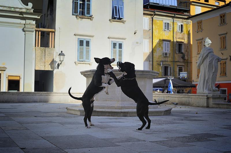 Two Dogs Playing in Tartini Square, Piran, Slovenia