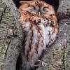 Red Morph Screech Owl 2/24/18