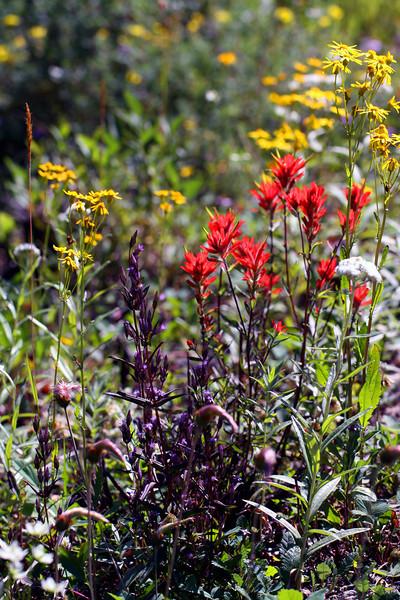 Indian Paint Brush - Waterton National Park