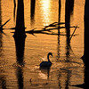 Swan Silhouetted at Sunrise