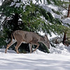 Deer in Snow.  Greenville, California.