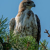 Red-Tailed Hawk 6/12/16
