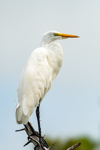 Great Egret watching over his domain