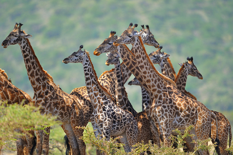Group of Rothchild Giraffes, Tanzania, East Africa