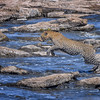 Male leopard jumping over rocks in the Mara River, Masai Mara, Kenya, East Africa