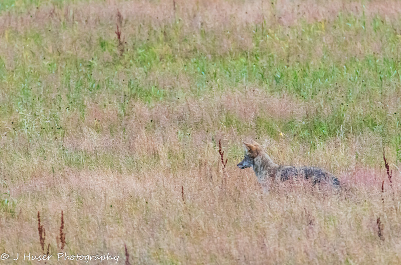 Coyote in tall grass looking left