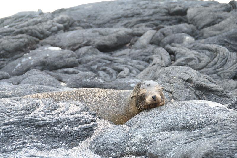 A sleeping Sea Lion