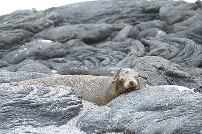 A sleeping Sea Lion