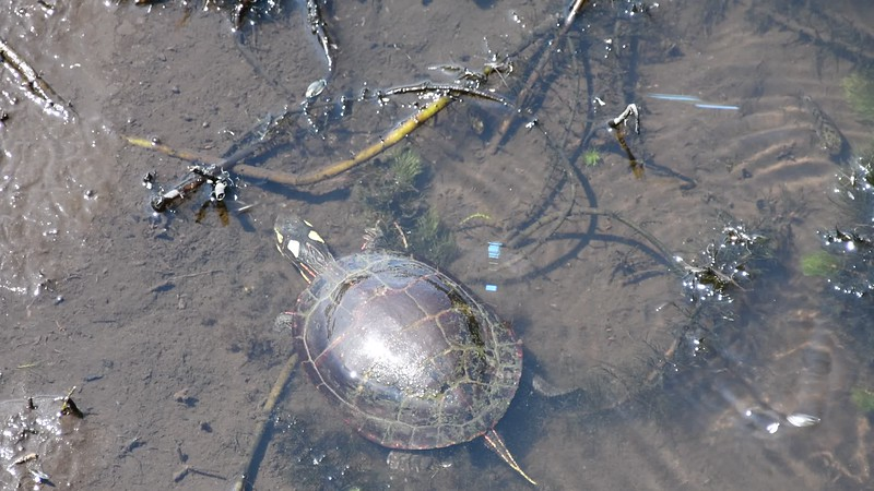 Hunting Painted Turtle