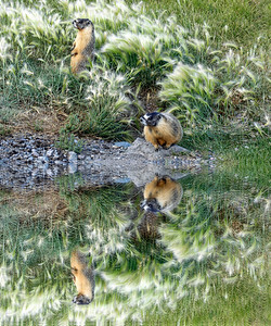 Hoary Marmots and Reflection