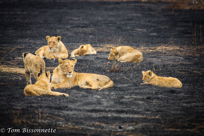 Two lioness with cubs, Ngorongoro Crater