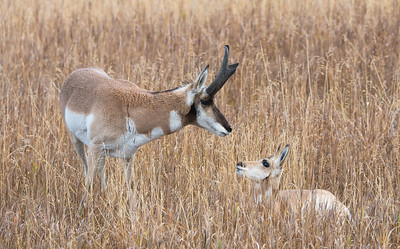 Pronghorn Buck and Fawn
