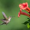 Ruby-Throated Hummingbird 7/20/16