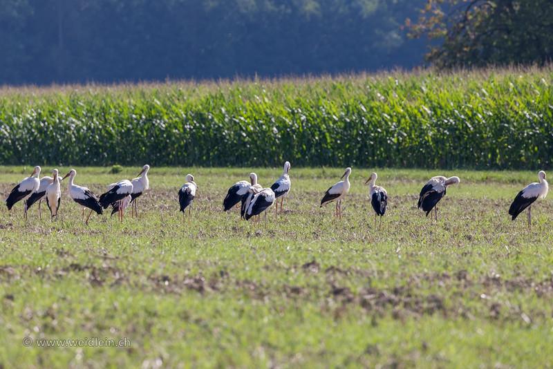 Stork Gathering