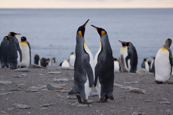 King penguin couple